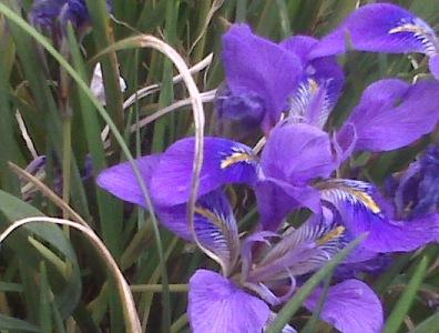 winter-blooming-iris
