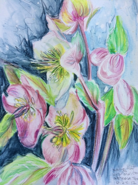 helibores inktense sketch March 2017