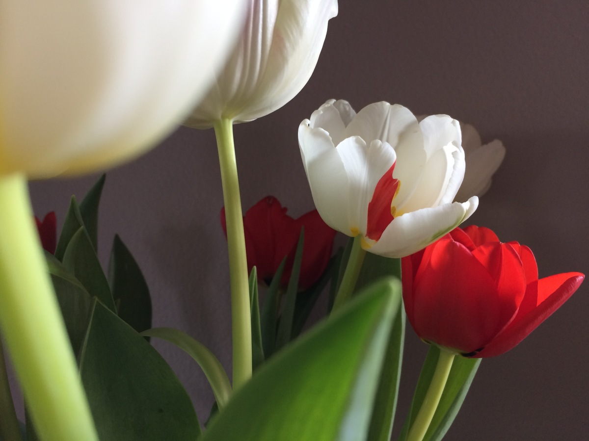 Tulip reference image